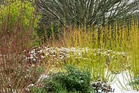 The Winter Garden at the Sir Harold Hillier Gardens, Hampshire, UK. Planting includes Cornus schindleri, Cornus sericea 'Bud's Yellow' and Sarcococca