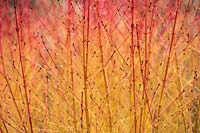 Stems of Cornus sanguinea 'Midwinter Fire'