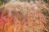 Seedheads of Panicum virgatum 'Warrior' in winter