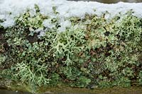 Lichen growing on the branches of Cladrastis kentukea