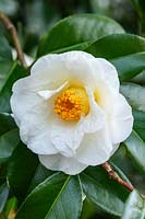 Camellia x williamsii 'Sea Foam'