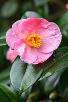 Camellia x williamsii 'Coppelia'