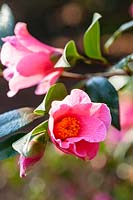 Camellia x williamsii 'Bartley Pink'