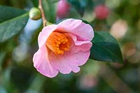 Camellia x williamsii 'J.C. Williams'
