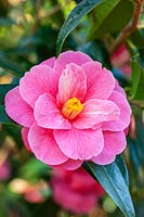 Camellia 'Maud Messel' reticulata x williamsii