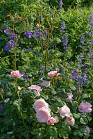 Rosa 'Queen of Sweden', Nepeta grandiflora 'Summer Magic and Geranium magnificum - Hardy Geranium.