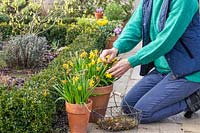 Woman deadheading Narcissus 'Tete a Tete' - Miniature Daffodils to prevent them from using energy on setting seeds.
