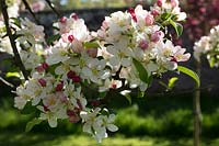 Malus toringo 'Wooster' - Crab apple 'Wooster'