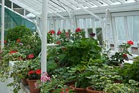 Pelargoniums overwintering in restored glasshouse