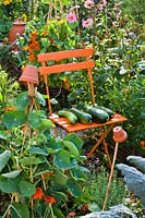 Harvested courgettes or zucchini on seat in a potager