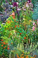Companion planting in vegetable garden includes: Tropaeolum majus - nasturtium,