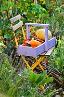 Trug of harvest: peppers, kale and courgettes in vegetable garden