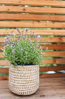 Lavandula - Lavender planted in basket on wooden balcony.