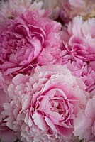 Close up of cut double pink Peony blooms.