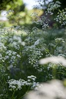 Anthriscus sylvestris - Cow Parsley