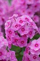 Phlox paniculata 'Bill Green'