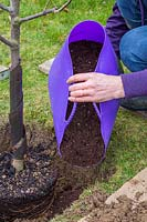 Adding rotted manure to planting hole around Malus domestica - apple - tree