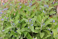 Myosotis sylvatica, wood forget-me-not