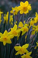 Narcissus 'Sweetness' - Jonquil 'Sweetness'