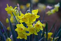 Narcissus 'Pipit' - Jonquil 'Pipit'