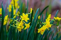 Narcissus 'Baby Boomer' - Daffodil
