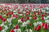 Large display of Tulipa - Tulip - and Narcissus - Daffodil as part of a Tulip Festival