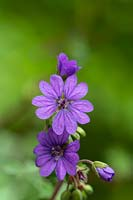Geranium pyrenaicum 'Bill Wallis' - Mountain Cranesbill