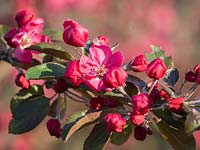 Malus 'Profusion' - Ornamental Crab Tree - in blossom