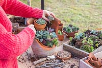 Woman adding more small succulents to multi-layered succulent landscape.
