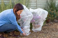 Woman tying string around containers with tender plants wrapped in fleece