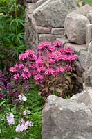 Monarda sheltered by traditional dry stone wall. The NSPCC Legacy Garden, RHS Tatton Park Flower Show, 2016.