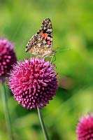 Vanessa cardui - Lady butterfly on Allium sphaerocephalon - Drumstick Allium.
