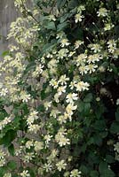 Clematis x fargesioides - Summer Snow