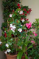 Mandevilla sanderi - white pink and red cultivars in late summer