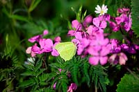 Gonepteryx rhamni - Brimstone Butterfly feeding on Lunaria annua - Honesty.