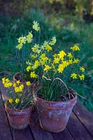 Three terracotta pots planted with Narcissus 'Hawera', Narcissus 'Baby Moon'  and Narcissus 'More and More'