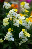 Erysimum - lemon yellow wallflowers