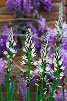 Asphodelus albus - White-flowered Asphodel with Wisteria sinensis 'Prolific' - Wisteria 'Prolific'