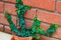 Ficus pumila - Creeping Fig growing in a cool conservatory and clinging to a brick wall.