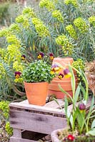 Spring display with terracotta pots planted with Viola backed by Euphorbia.