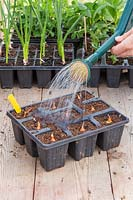 Watering a cellular tray planted with Onion sets using a watering can fitted with a rose