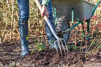 Working in well-rotted manure around Rose shrubs using a long-handled garden fork