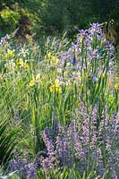 Flower border with Iris spuria 'Neophyte' and Iris spuria 'Sunny Day'