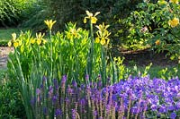 Border with Iris spuria 'Sunny Day', Geranium magnificum and