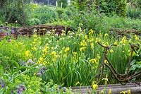 Antique bicycle frame and  willow fence next to a damp water zone with various flag iris and other moisture loving plants, Iris pseudacorus