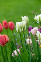 Tulipa 'Spring Green' - Viridiflora Tulip - growing next to other tulips