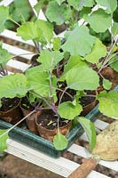 Brassica oleracea var. acephala 'Candy Floss' - Kale - young plants in pots prior to planting out