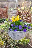 Hanging basket with a mix of Narcissus 'Tete a Tete', Viola and Hedera - Ivy, hung up in a garden