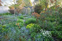 Cottage garden with flower beds of Myosotis - Forget-me-not and other emerging perennials with polytunnel and fencing beyond