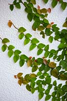 Ficus pumila - Creeping Fig - on white wall